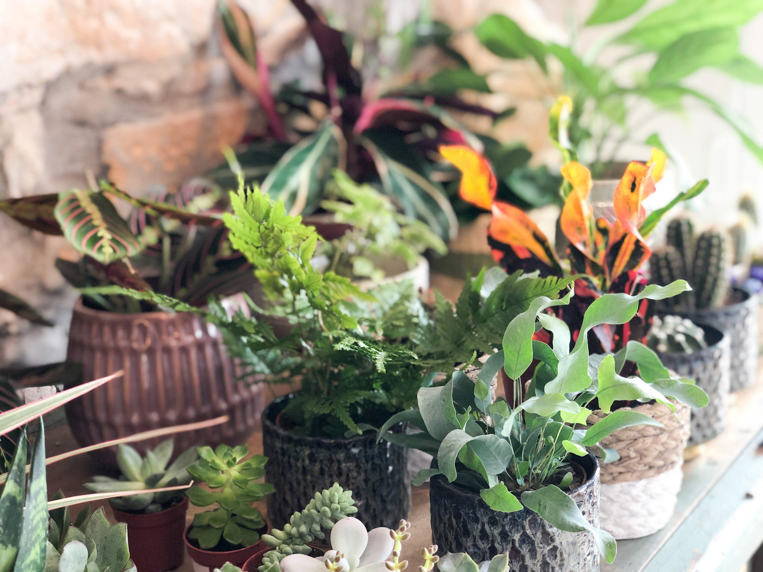 Plantes Little Liamone